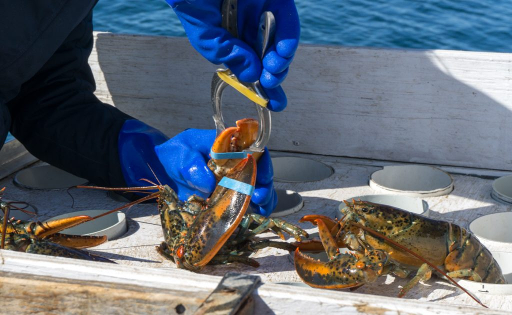 Learning to put elastics on lobsters activity to try in the Magdalen Islands