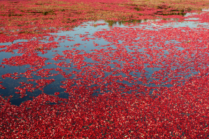 Cranberry floating in a field in Centre-du-Québec